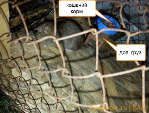 крыса попалась в самодельную крысоловку